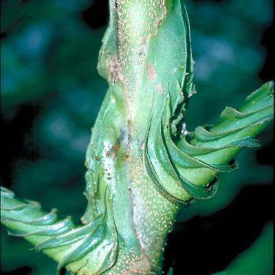 Osmoxylon novoguineense (Araliaceae)