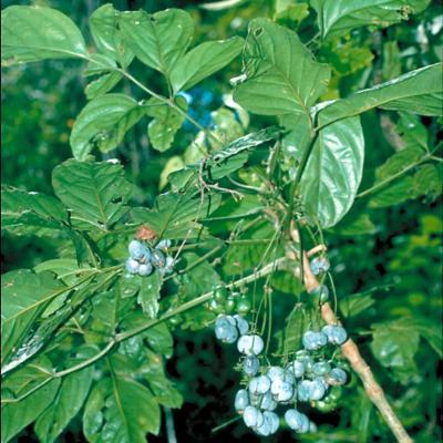 Mackinlaya celebica (Araliaceae)