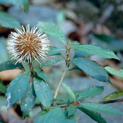 Myrmeconauclea sp (Naucleaceae)