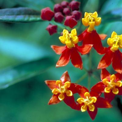 Asclepias cunassavida (Asclepiadaceae)