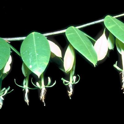 Linostoma pauciflorum (Thymelaeaceae)