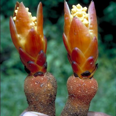 Balanophora sp (Balanophoraceae)