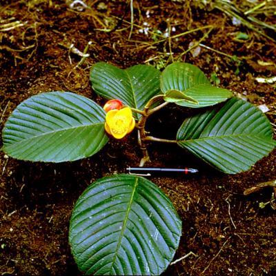 Dillenia montana (Dilleniaceae)