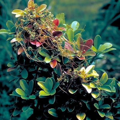 Cuscuta campestris (Cuscutaceae)