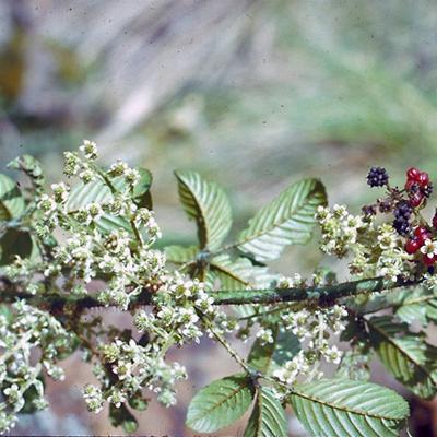 Rubus sp (Rosaceae)