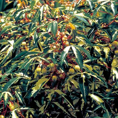 Manihot esculenta (Euphorbiaceae)