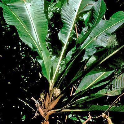Tapeinosperma sp (Myrsinaceae)