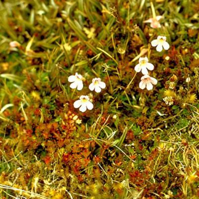 cf Euphrasia curviflora (Scrophulariaceae)