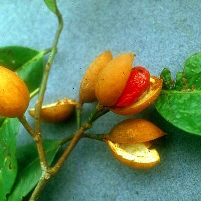 Myristica sp (Myristicaceae)