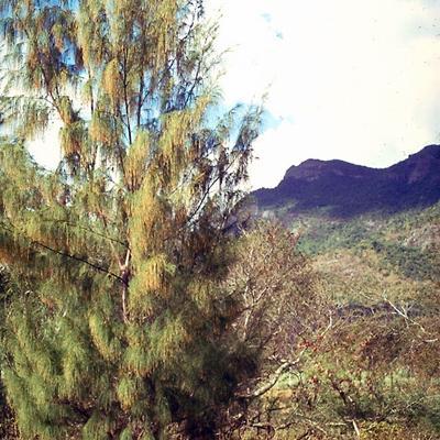 Casuarina sp (Casuarinaceae)