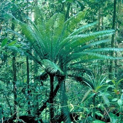Cycas circinalis (Cycadaceae)