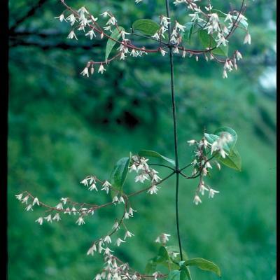 Clematis sp (Ranunculaceae)