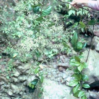 Maesa spectabilis (Myrsinaceae)