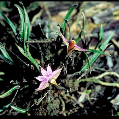 Dendrobium cyanocentrum (Orchidaceae)