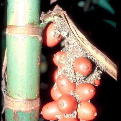 Nenga pumila var pachystachya (Palmae)