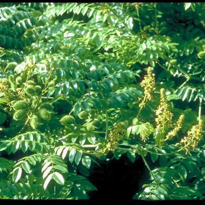 Caesalpinia bonduc (Leguminosae-Caesalpinioideae)