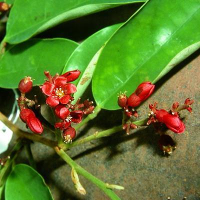 Sarcotheca sp (Averrhoaceae)