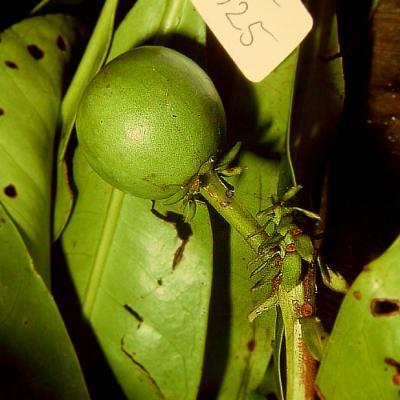Tetramerista sp (Tetrameristaceae)