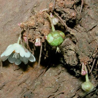 Saurauia sp (Actinidiaceae)