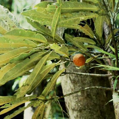 Myristica colinridsdalei (Myristicaceae)