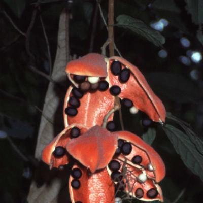 Sterculia stipulata (Sterculiaceae)