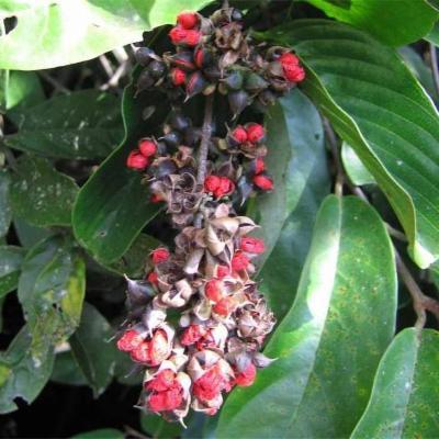 Tetracera rotundifolia (Dilleniaceae)