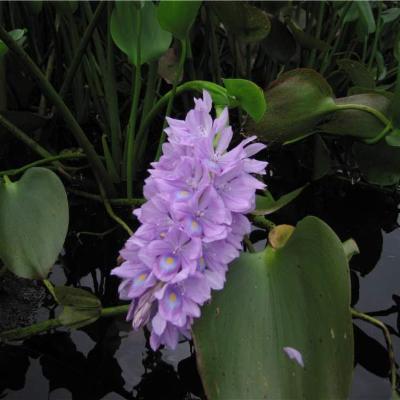 Eichhornia crassipes (Pontederiaceae)
