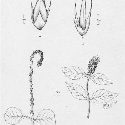 Achyranthes aspera Achyranthes aspera pubescens (Amaranthaceae)