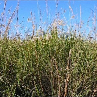 Agenium villosum (Poaceae)