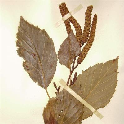 Alnus acuminata (Betulaceae)