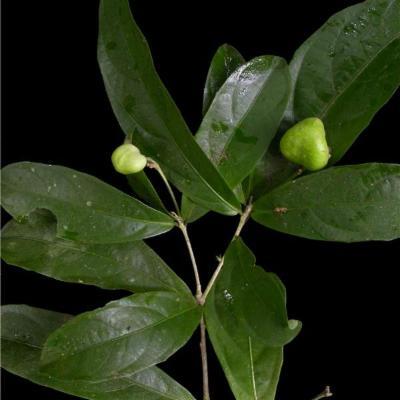 Amphirrhox longifolia (Violaceae)