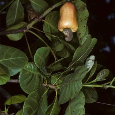 Anacardium occidentale (Anacardiaceae)