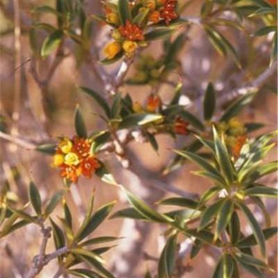 Bonellia brevifolia (Theophrastaceae)