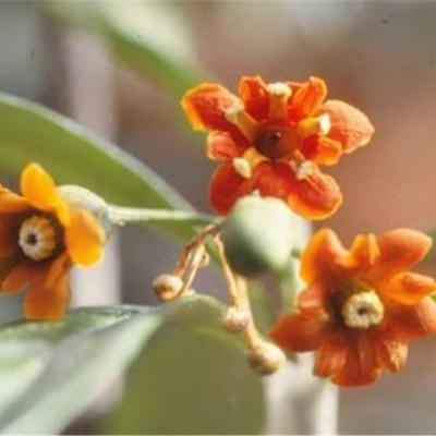 Bonellia sprucei (Theophrastaceae)