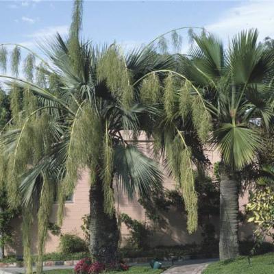 Brahea armata (Arecaceae)