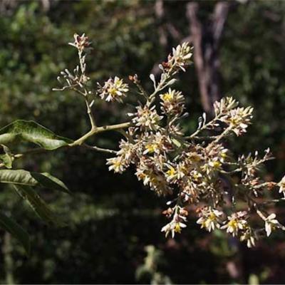 (Polygalaceae)