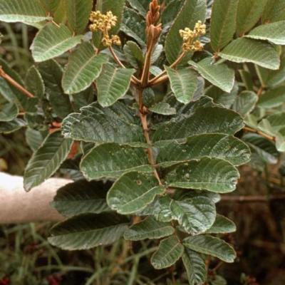 Brunellia propingua (Brunelliaceae)