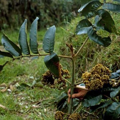 Brunellia sibundoya (Brunelliaceae)