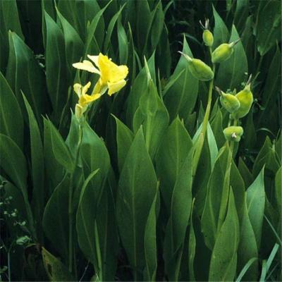 Canna flaccida (Cannaceae)