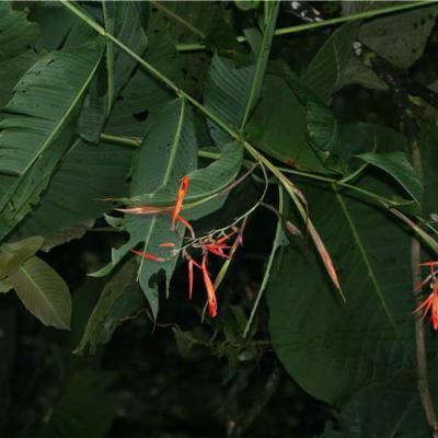 Cannapaniculata (Cannaceae)