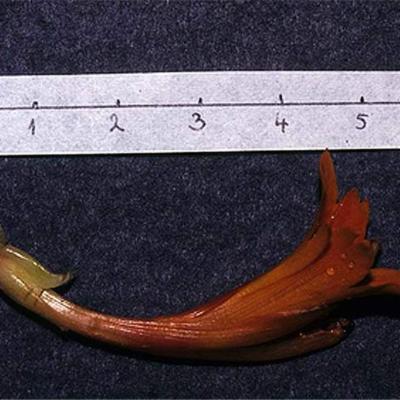 Cannajaegeriana (Cannaceae)