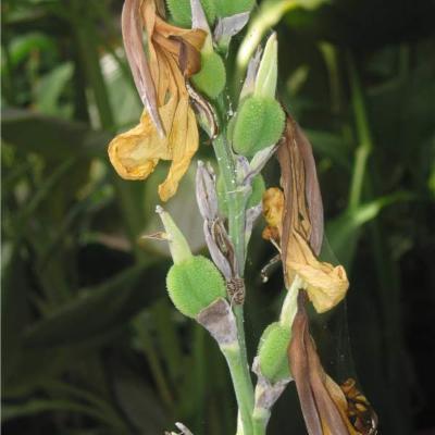 Canna (Cannaceae)