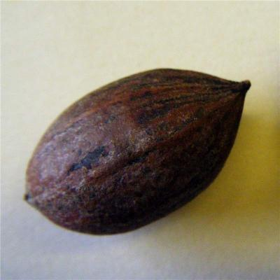 Carya illoensis (Juglandaceae)