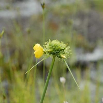 Cephalostemon gracilis (Rapateaceae)