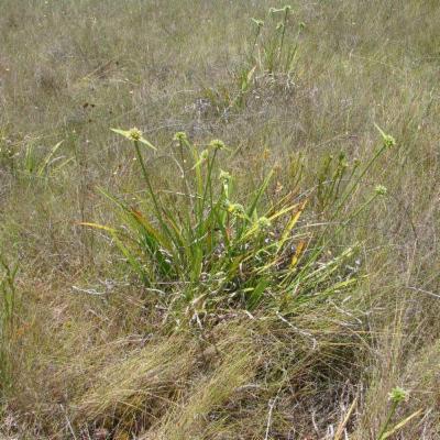 Cephalostemon riedelianus (Rapateaceae)
