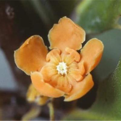 Clavija euerganea (Theophrastaceae)