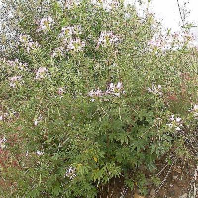 Cleome (Cleomaceae)