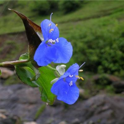 Commelina sorata (Commelinaceae)