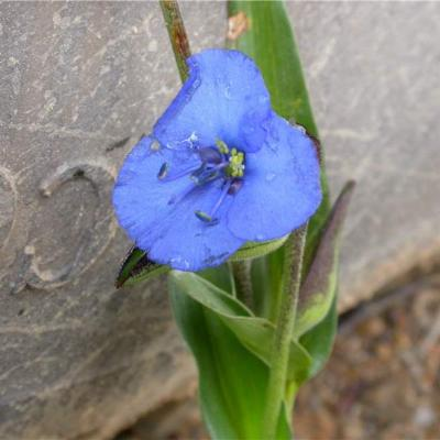 Commelina (Commelinaceae)