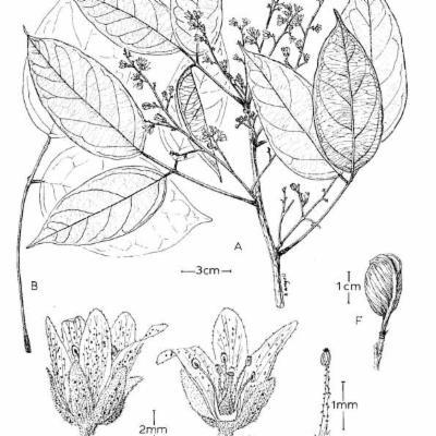 Connarus rigidus (Connaraceae)